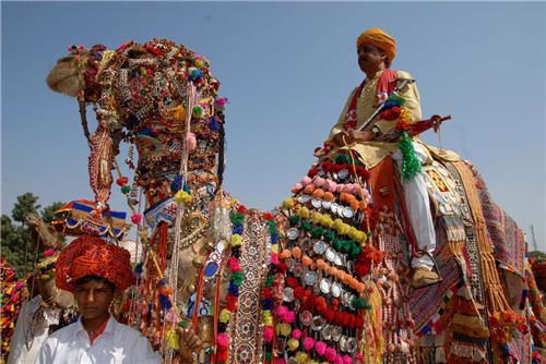 Camels at Sekhawati Fesivals