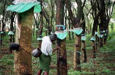 Rubber Harvesting in Kottayam