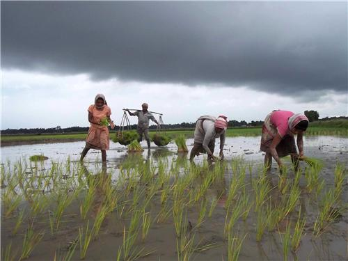 Agriculture of Lakhimpur