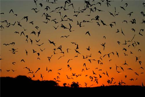 Bats of Mount Abu