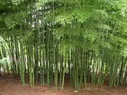 Bamboo Farming in Nadiad