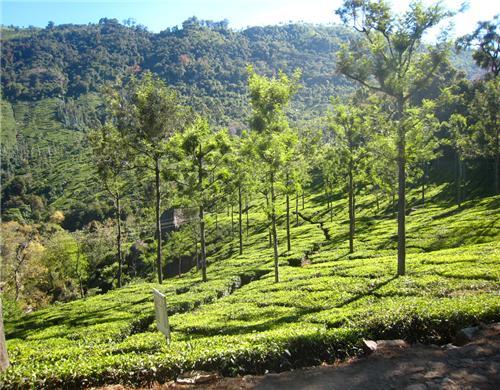 Tea Estates of Ooty