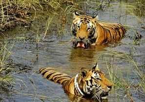 Valmikinagar Tiger Reserve