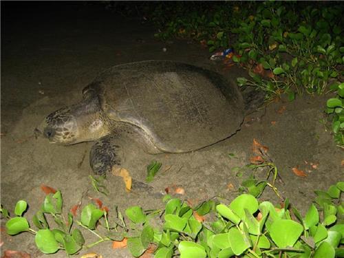 Turtle Nesting at Kalipur Beach at Diglipur Andaman