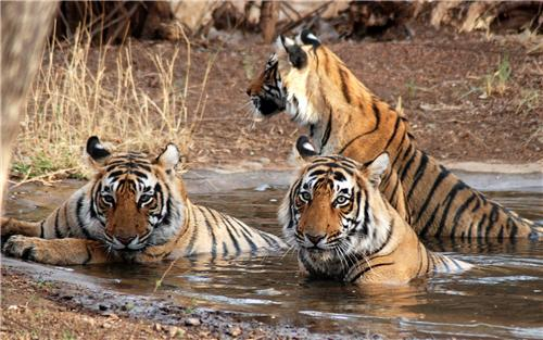 Tigers at Ranthambore National Park-Credit Google