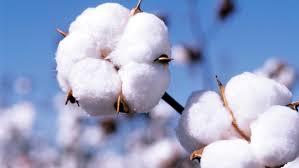 Cotton Industry in Wadhwan