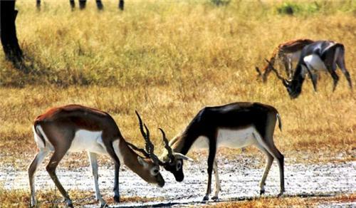Rehkuri Black Buck Sanctuary