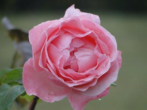 Kokernag Rose Garden