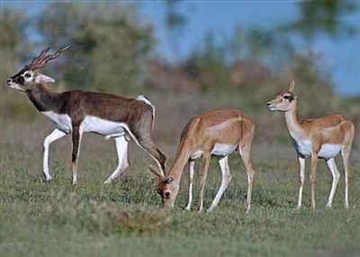 Deer grazing in a zoo in Chennai