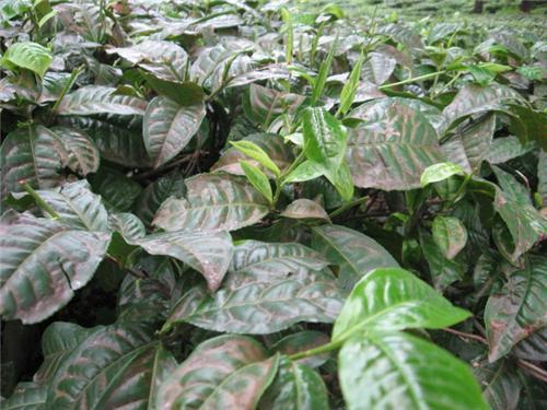 Tea Plants In Darjeeling Gardens