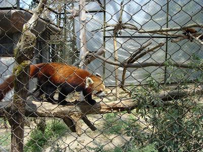 Red Panda at Padmaja Zoo