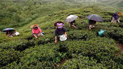 Tea Company near Darjeeling