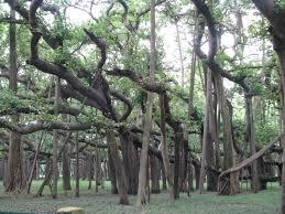 Great Banyan in Howrah Botanical Garden