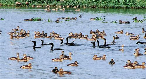 Local Birds at Santragachi Jheel