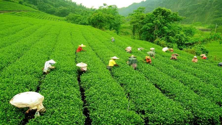 भारत में चाय पर्यटन