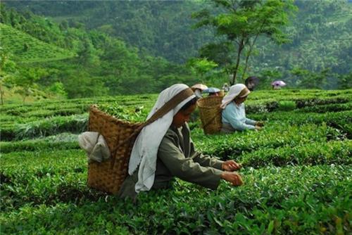 Tea garden of Assam