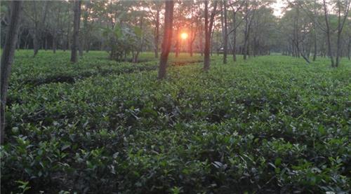 Tea Estates in Assam