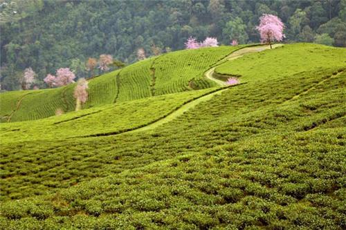 Tea Gardens in India
