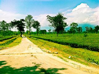 Tea Gardens in Jalpaiguri