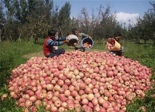 Apple Orchard in Kashmir