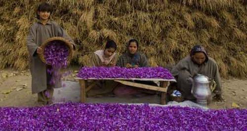 Saffron after being Harvested