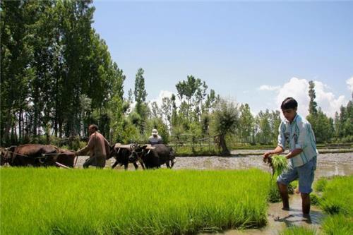 Agriculture in Budgam