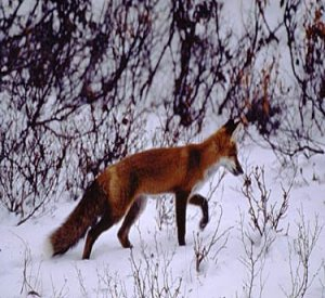 Flora and Fauna of Gulmarg