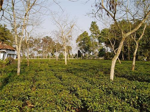 Jorhat Tea Gardens
