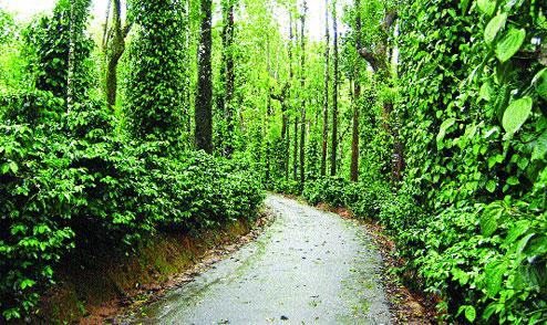 Coffee Trails in Virajpet