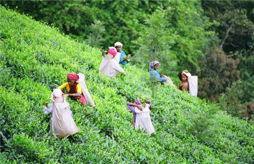 Tea plantation Wayanad