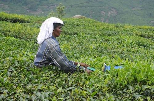 Tea Plantations at Idukki
