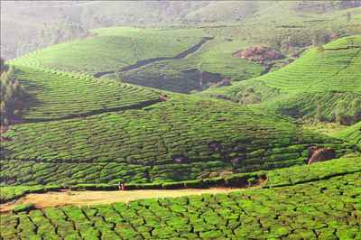 Coffee plantation in Kerala