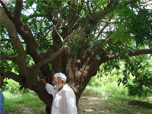 Malihabad mangoes Lucknow