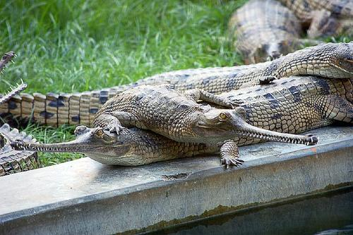 Crocodile Wildlife Sanctuary Near Lucknow