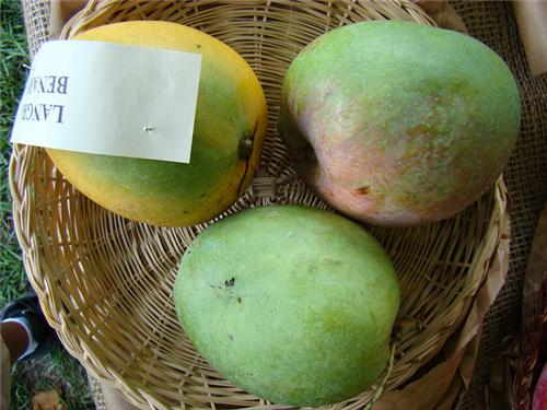 Chausa Mangoes in Lucknow