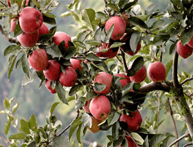 Fruit orchard in Manali