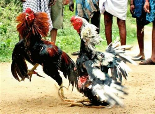 cock fighting in nagaland