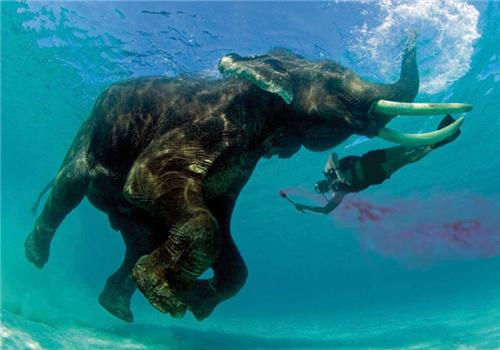 Swimming elephant in Port Blair