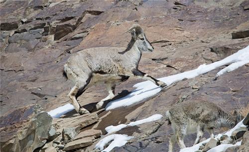 Bharal at Himalayan Nature Park