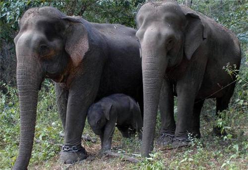 Sakrebayalu Elephant Camp