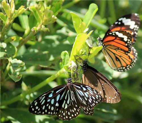 Butterflies at Sharavathi Wildlife Sanctuary