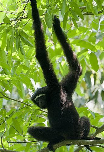 Gibbon in Borail wildlife sanctuary
