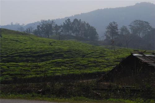 Margherita tea gardens