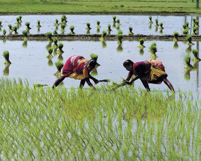 Tamilnadu Paddy Cultivation