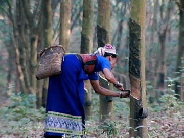 Tribal woman working on latex extraction