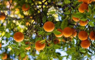 Jampui Oranges