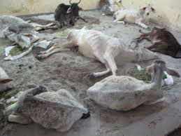 Cattle Rearing in Uttar Pradesh