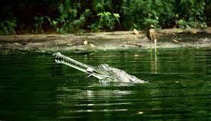 Reptiles in IGZP