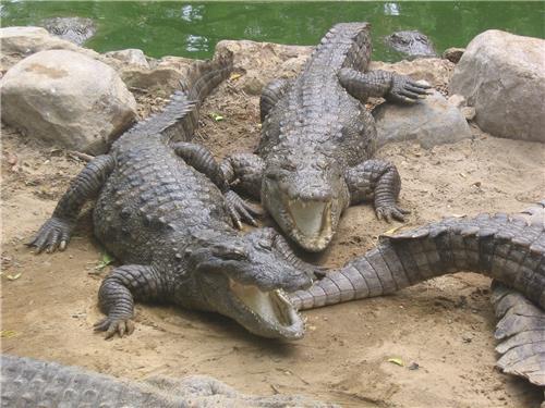 Deadly crocodiles in the Marshy land of Sunderban-Credit Google