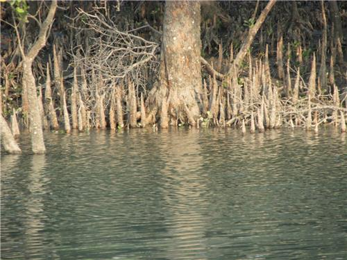 The Roots of the submerged Mangrove Forest-Credit Google